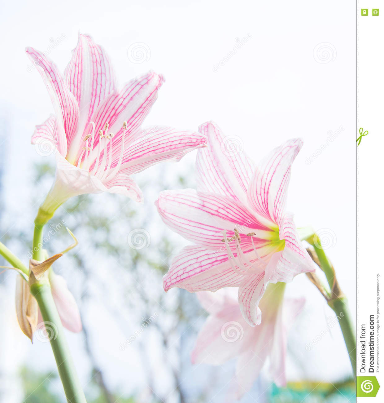 The flower hippeastrum looks like a lily white with pink stripes pl download the flower hippeastrum looks like a lily white with pink stripes pl stock photo izmirmasajfo
