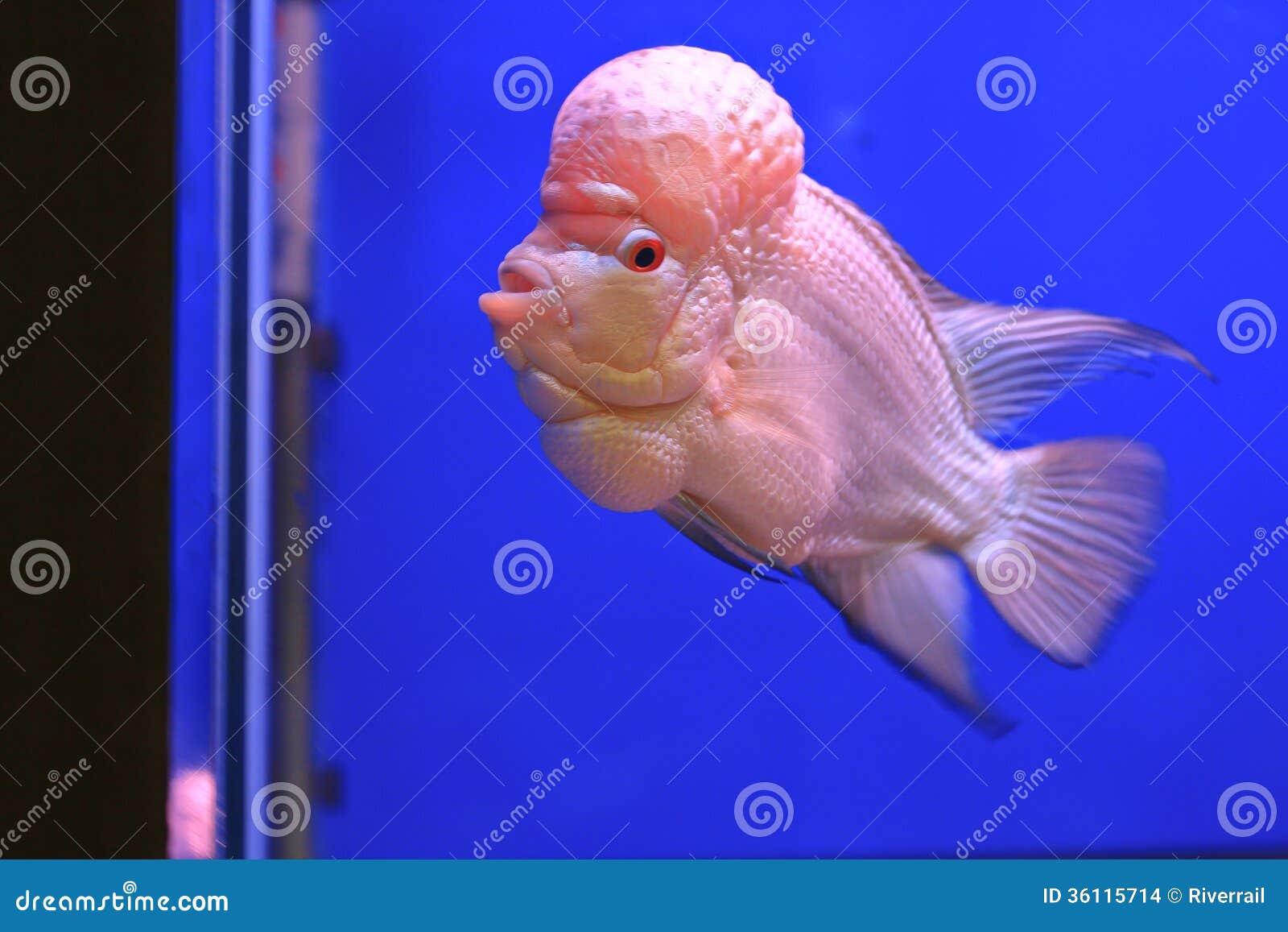 Flower Horn Fish Stock Image