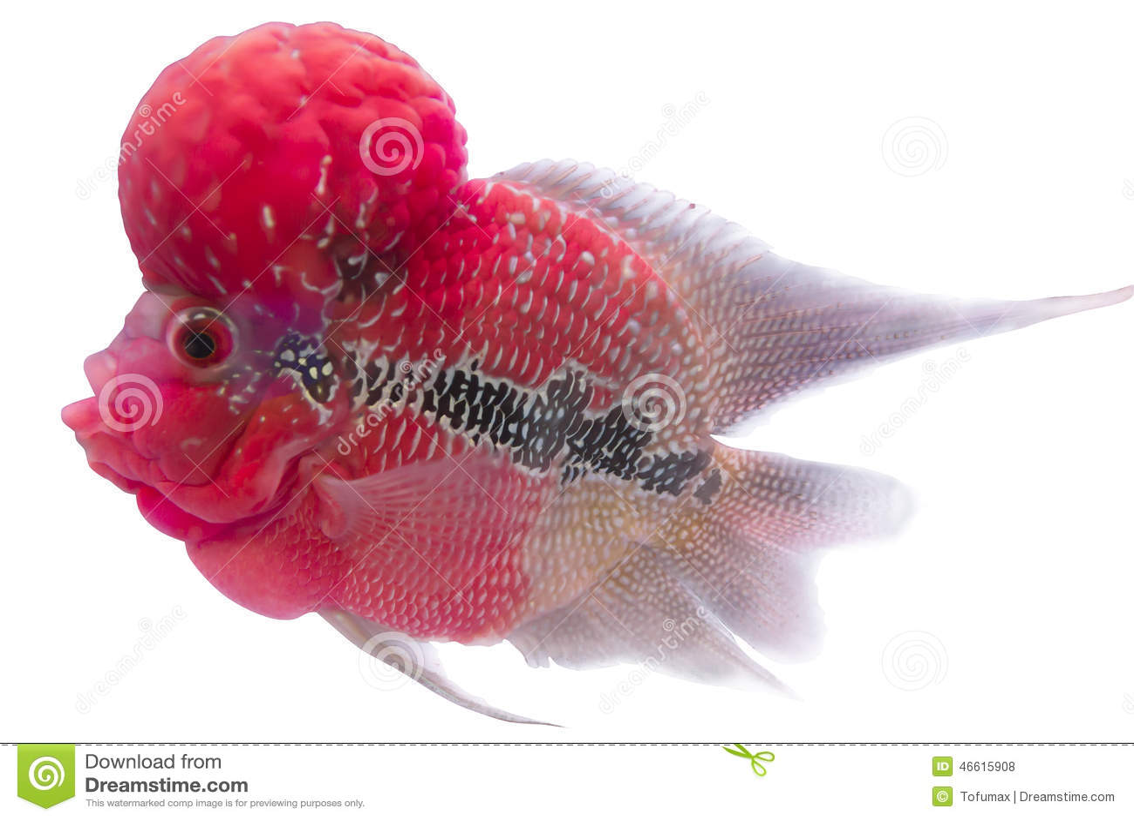 flower horn fish stock photo image of head pattern 46615908 rh dreamstime com Baby Flowerhorn Fish Discus Fish