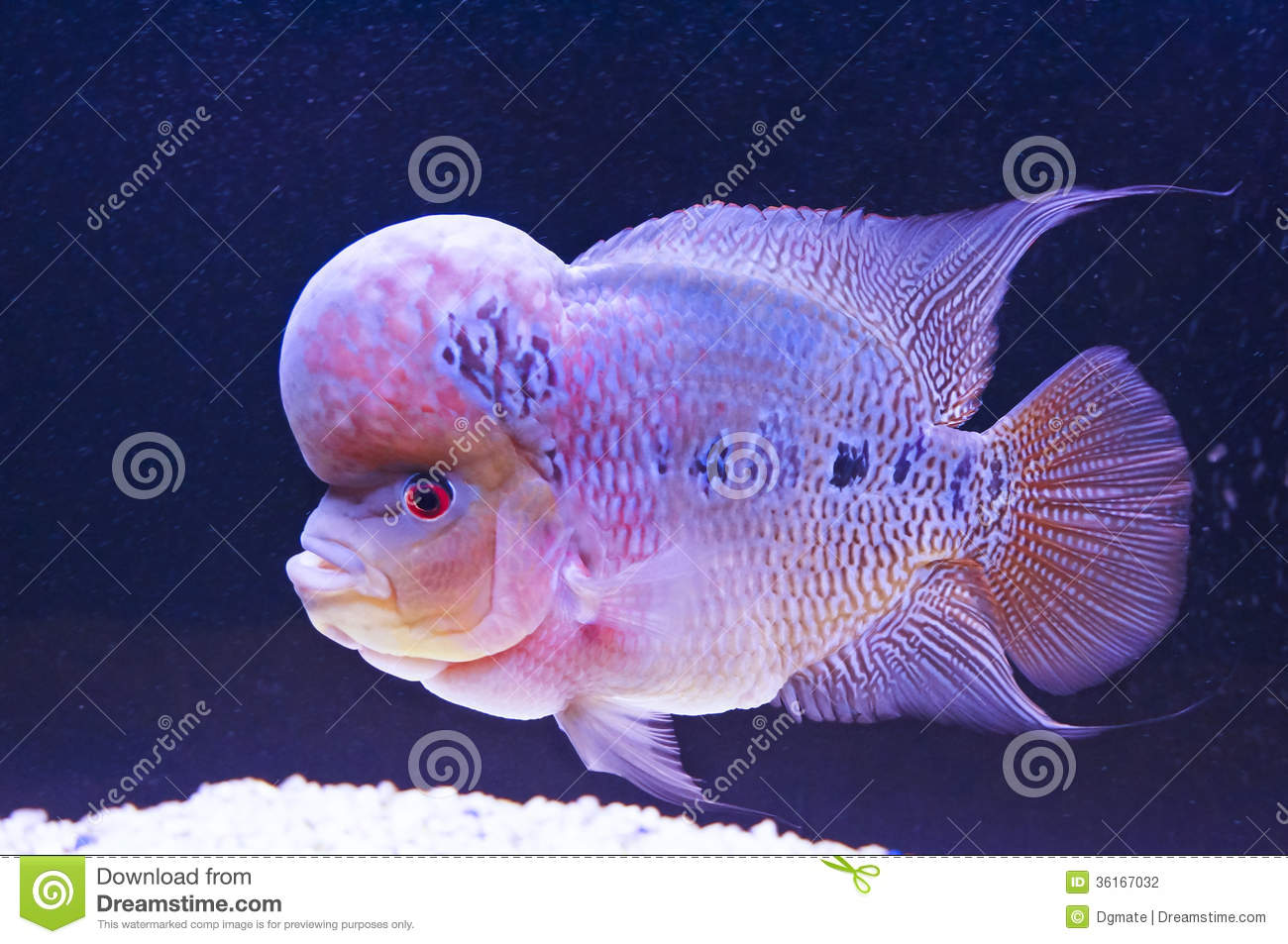 Flower Horn Fish Stock graphy Image
