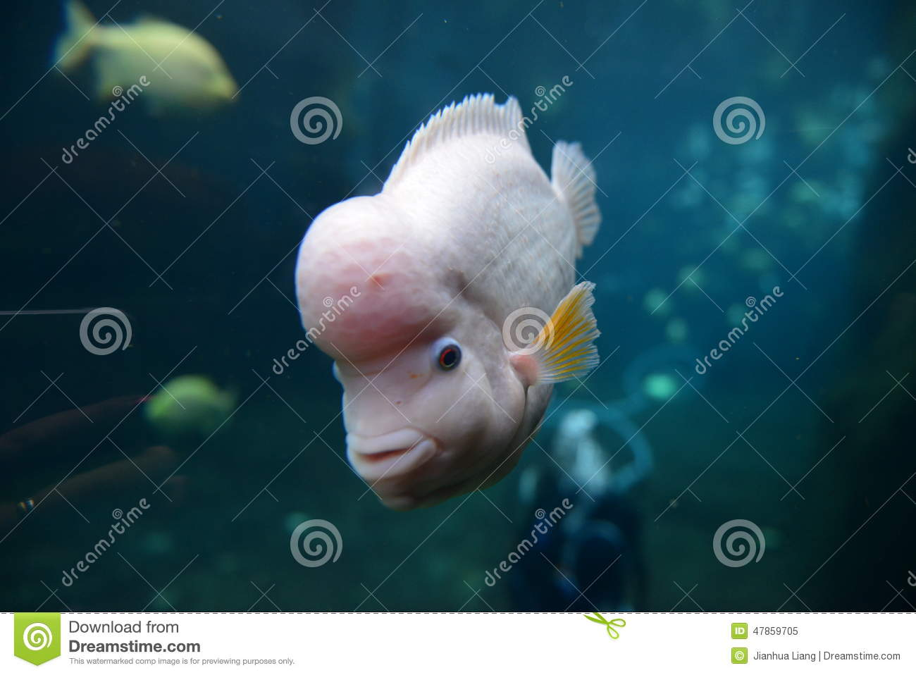 flower horn fish stock photos - royalty free images