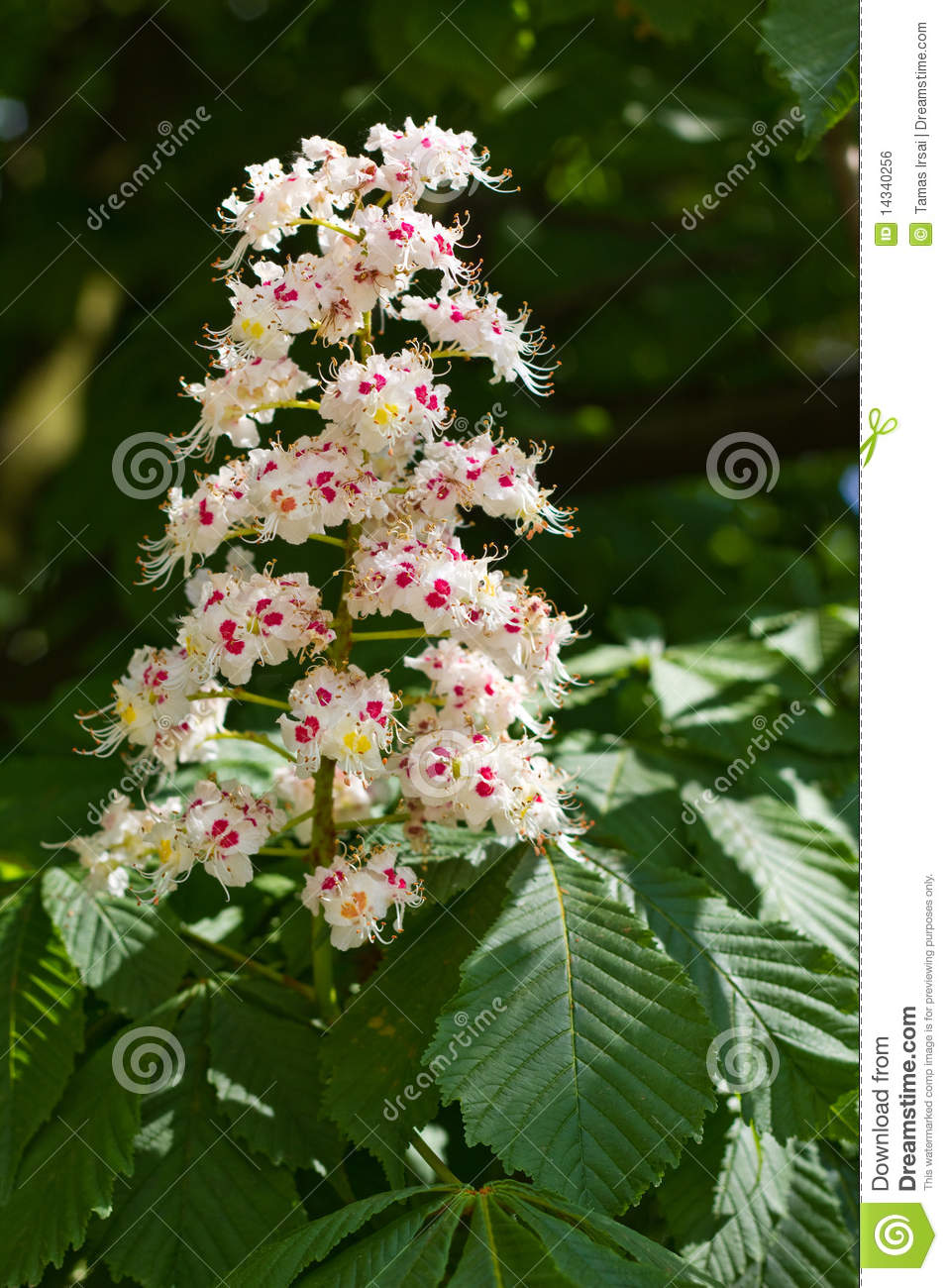 Horse Chestnut – the earth laughs in flowers