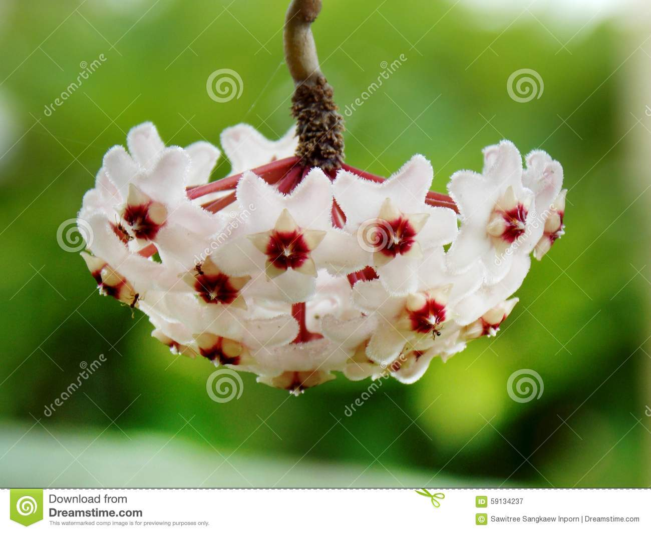 Flower Stock Image Image Of White Memoria Flowers 59134237