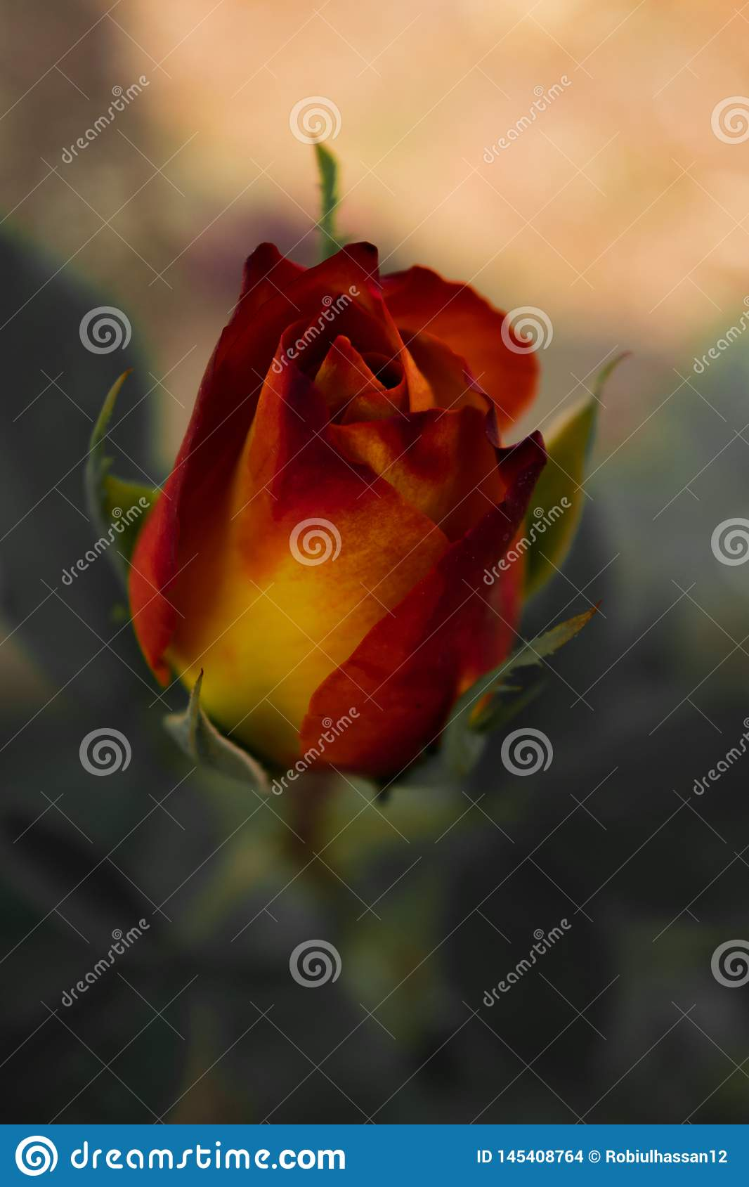 Flower image ,Rose Flower image , HD flower image