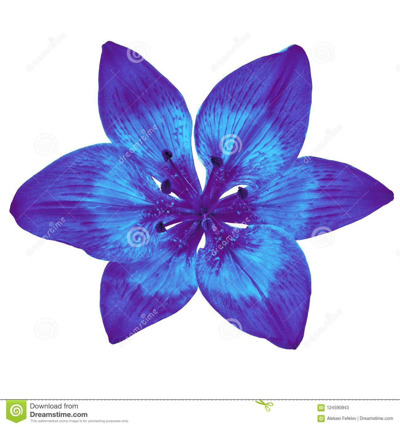 Flower indigo blue lily isolated on white background close up flower indigo blue lily isolated on white background close up izmirmasajfo