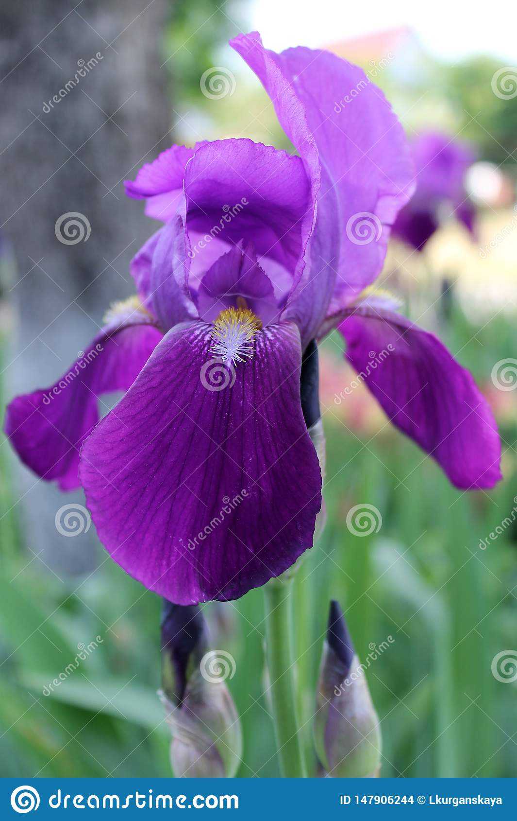 The iris flower. Beautiful purple flower in bloom on a crisp spring morning