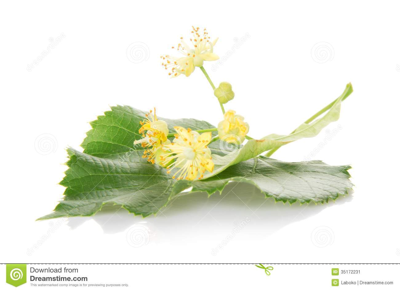 Flower And The Leaf Linden Tree Stock Image Image