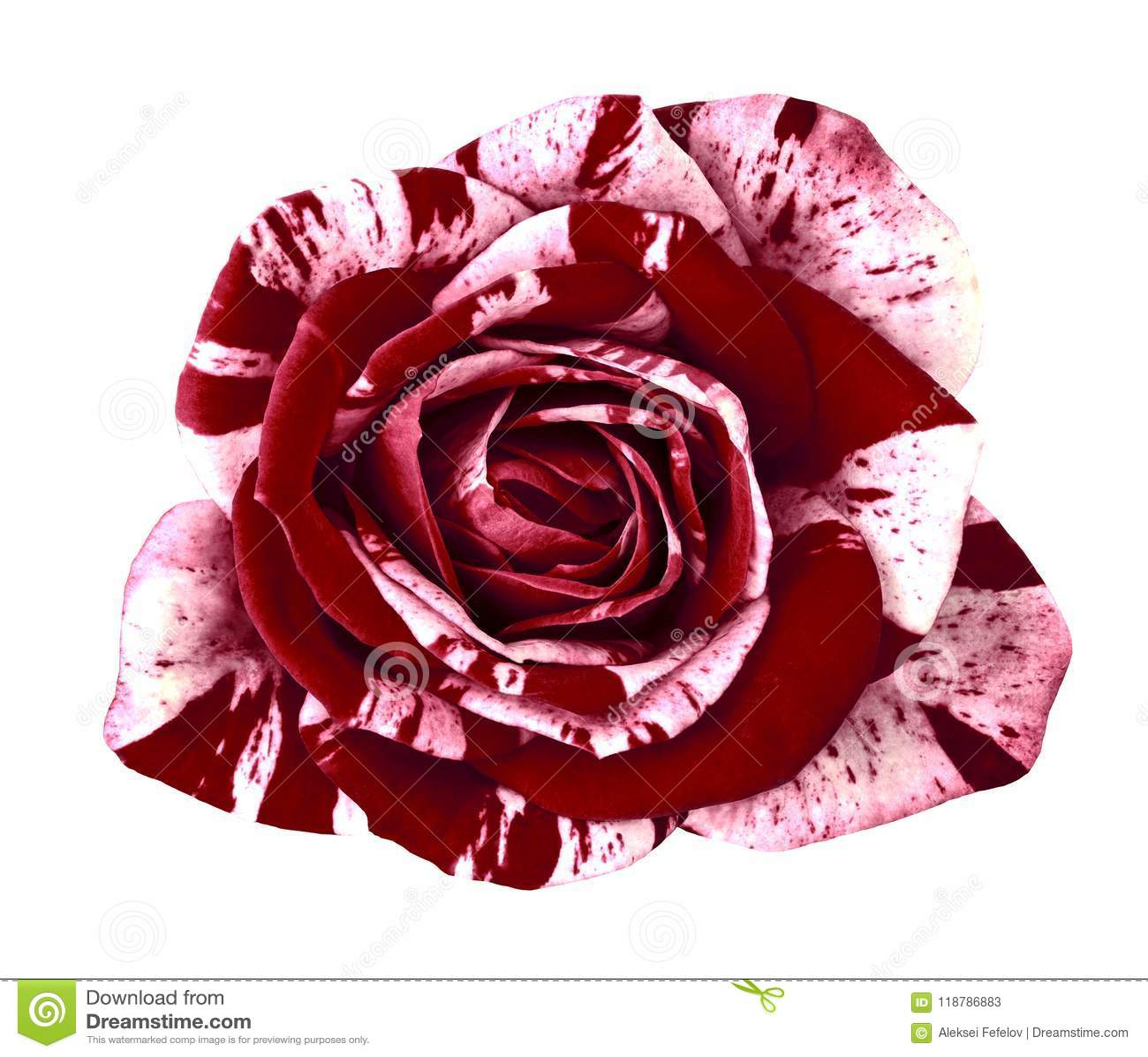 Flower Maroon White Rose Isolated On White Background. Close-up ...
