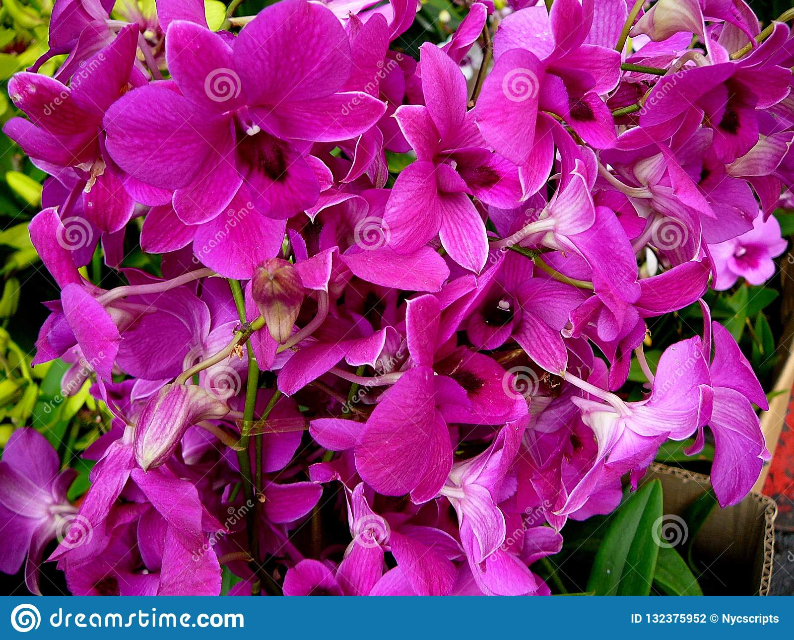 Bright Violet Pink Orchids