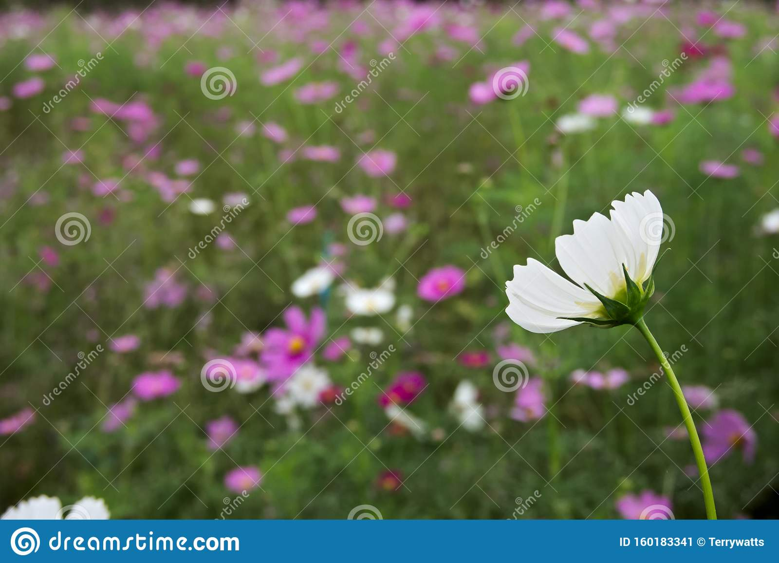 Flower Meadow Cosmos Flowers Coreopsideae Stock Image Image Of Field Coreopsideae 160183341