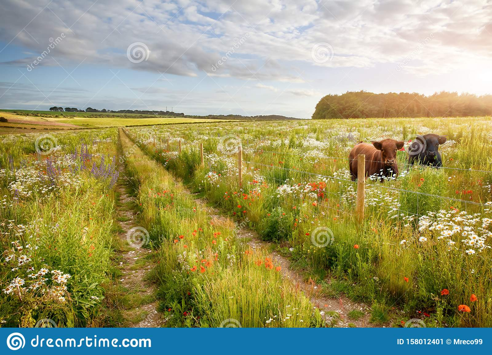 Flower meadow tracks and two cows