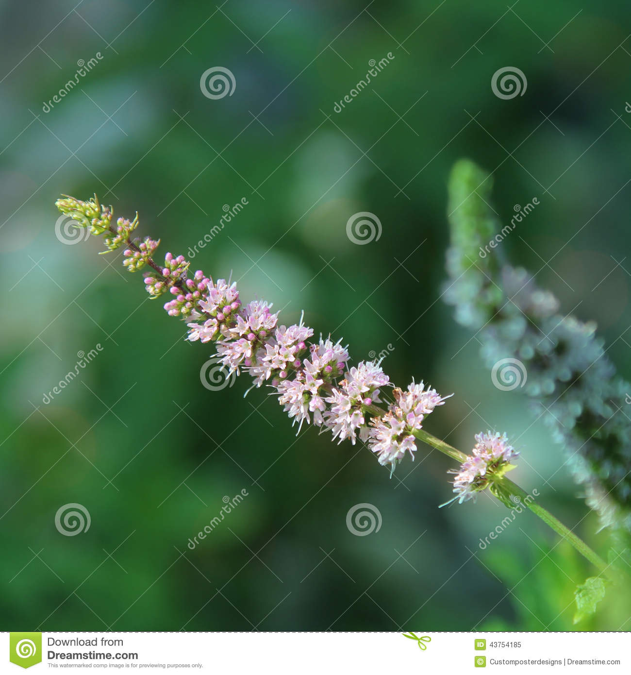 Download The Flower From A Mint Plant. Stock Image - Image of flower, fresh: 43754185