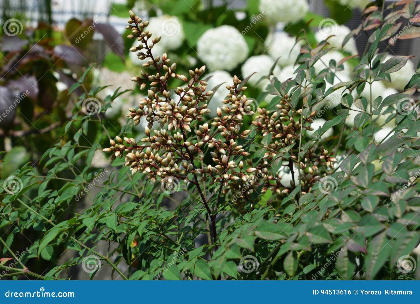 Flower Of Nandina Stock Photo Image Of White Fruits 94513616