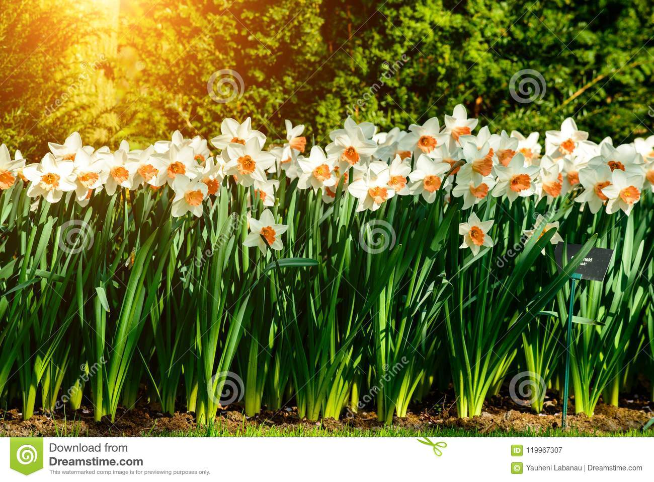 Flower Narcissus Background Amazing View Of Bright Fresh Beauti