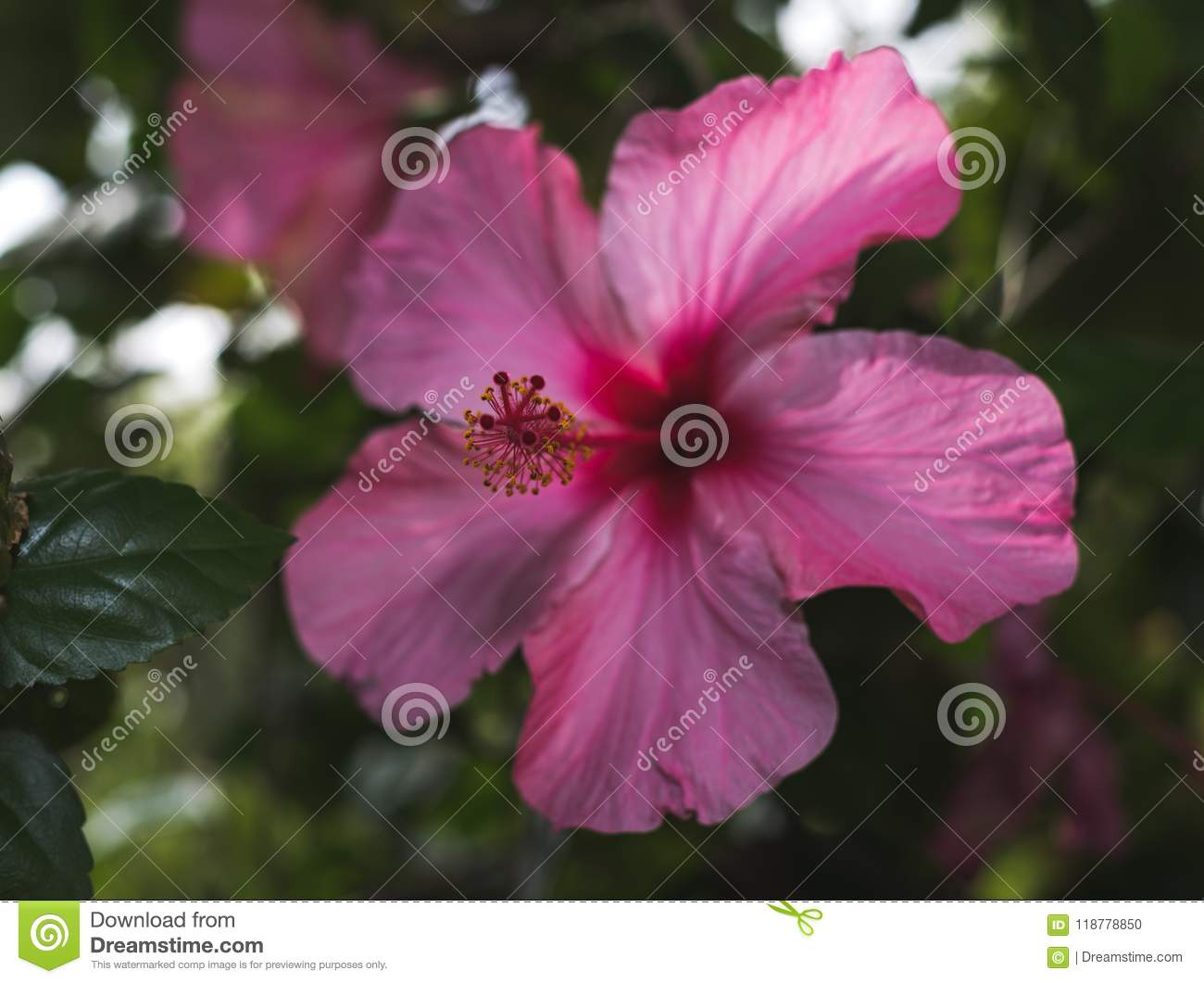 Flower Of One Day Hibiscus Pink Stock Photo Image Of Columns