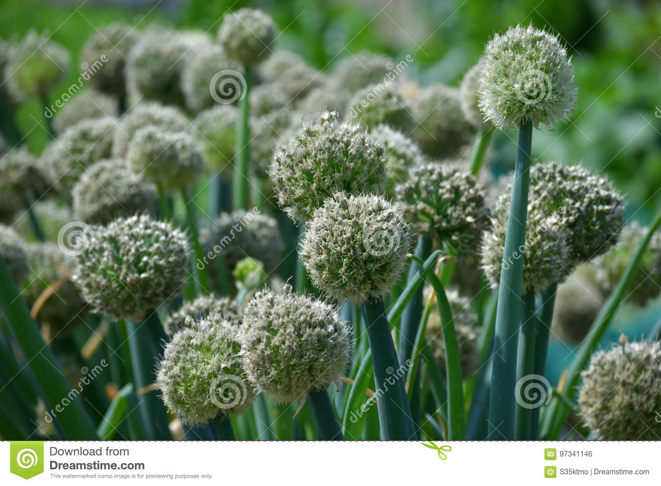 Flower Of Onion Stock Photo Image Of Spring Bright 97341146