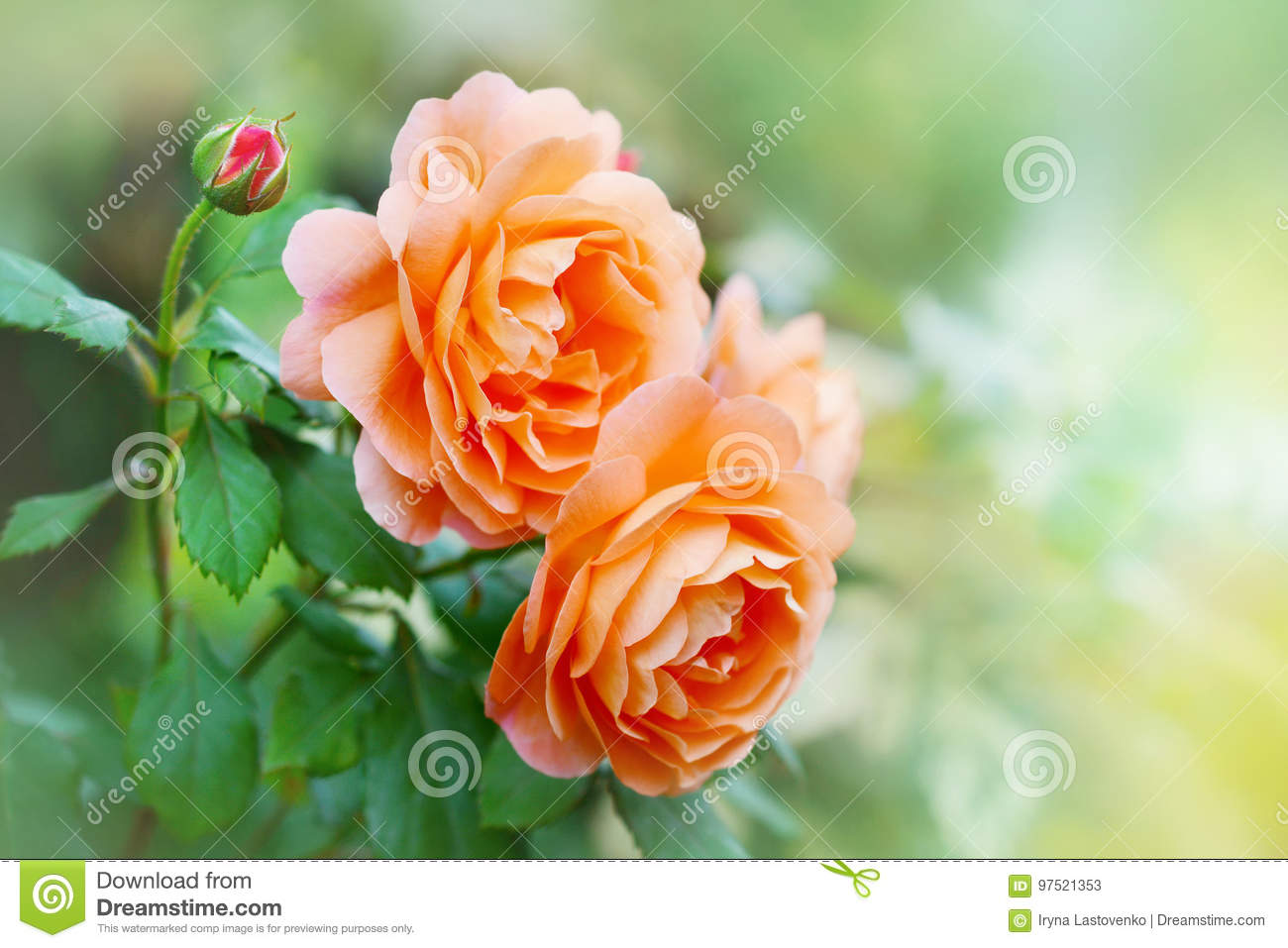 Flower of orange rose in the summer garden. English Rose Lady Emma Hamilton of David Austin.