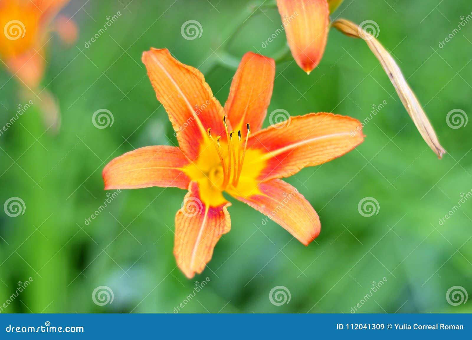 Flower Of Orange Royal Lily Stock Image Image Of Blue Artista