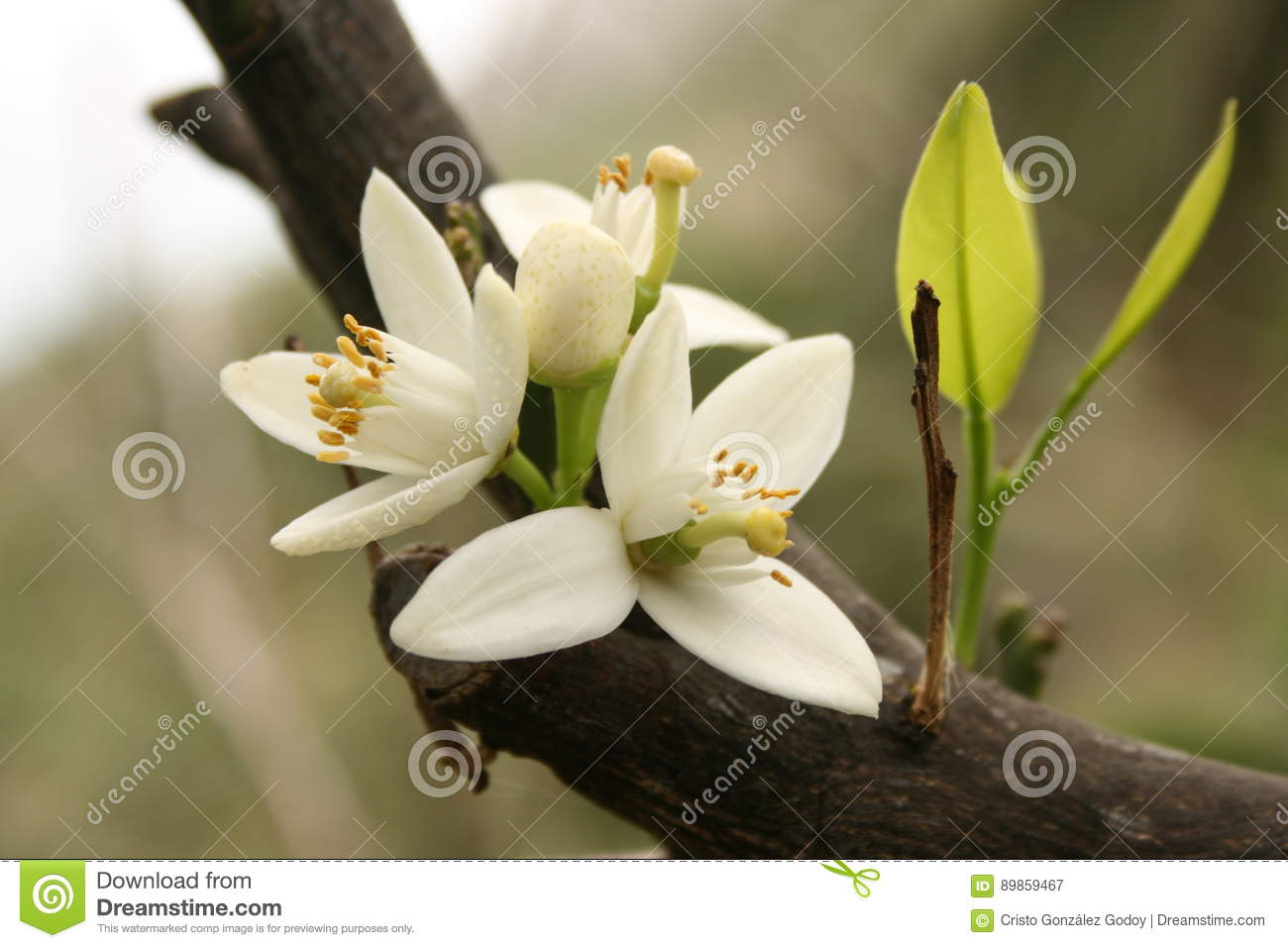 Flower of an orange tree stock image image of flowering 89859467 flower of an orange tree the flower is white and is flowering is also stuck to the trunk of the tree you can see petals anther and detailed filaments mightylinksfo