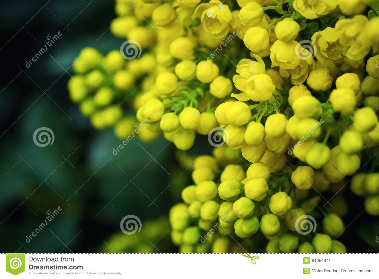 Flower oregon grapeflowering mahonia aquifolium oregon grape wi flower oregon grapeflowering mahonia aquifolium oregon grape wild flower holly leaves evergreen in spring timeflowering bush yellow flowersclusters of mightylinksfo