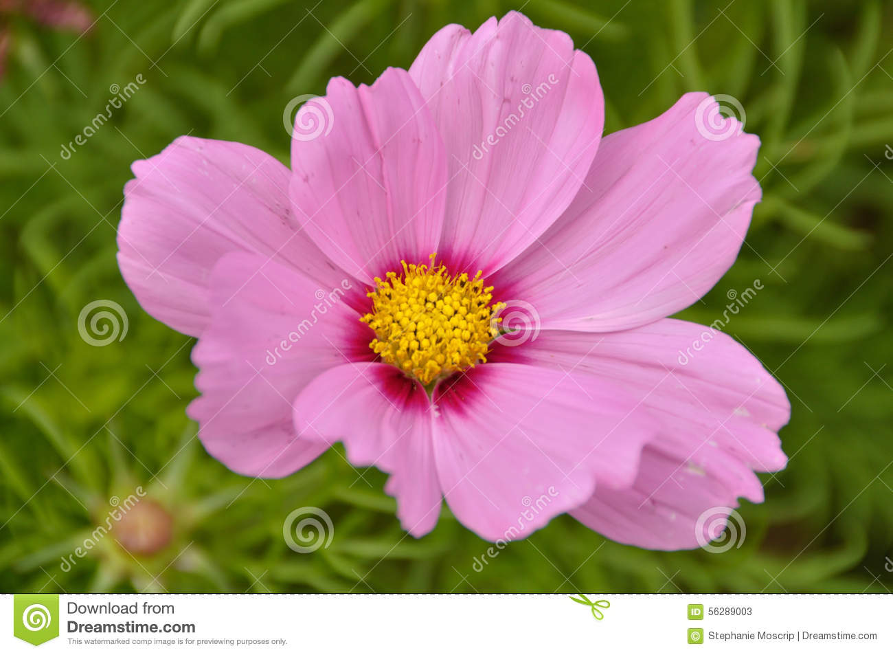 Pink Cosmos Flower And Greenery In Background Stock Image Image Of