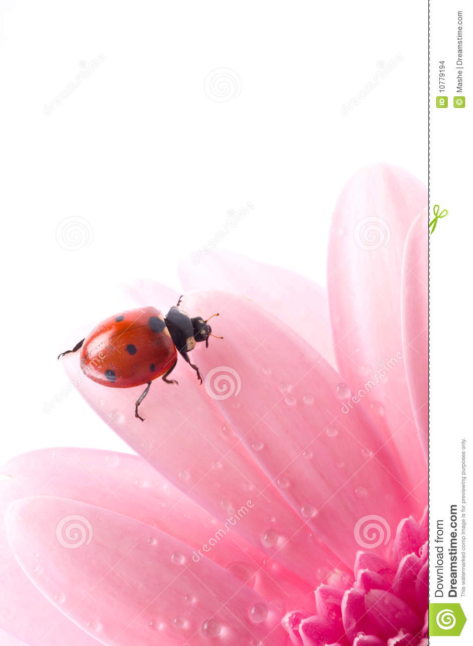 Flower petal with lady bug