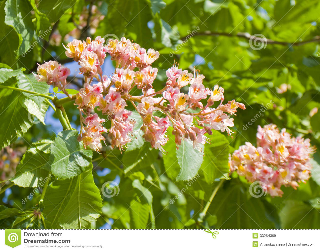 Flower of pink chestnut tree stock image image of botanic flora flower of pink chestnut tree mightylinksfo Gallery
