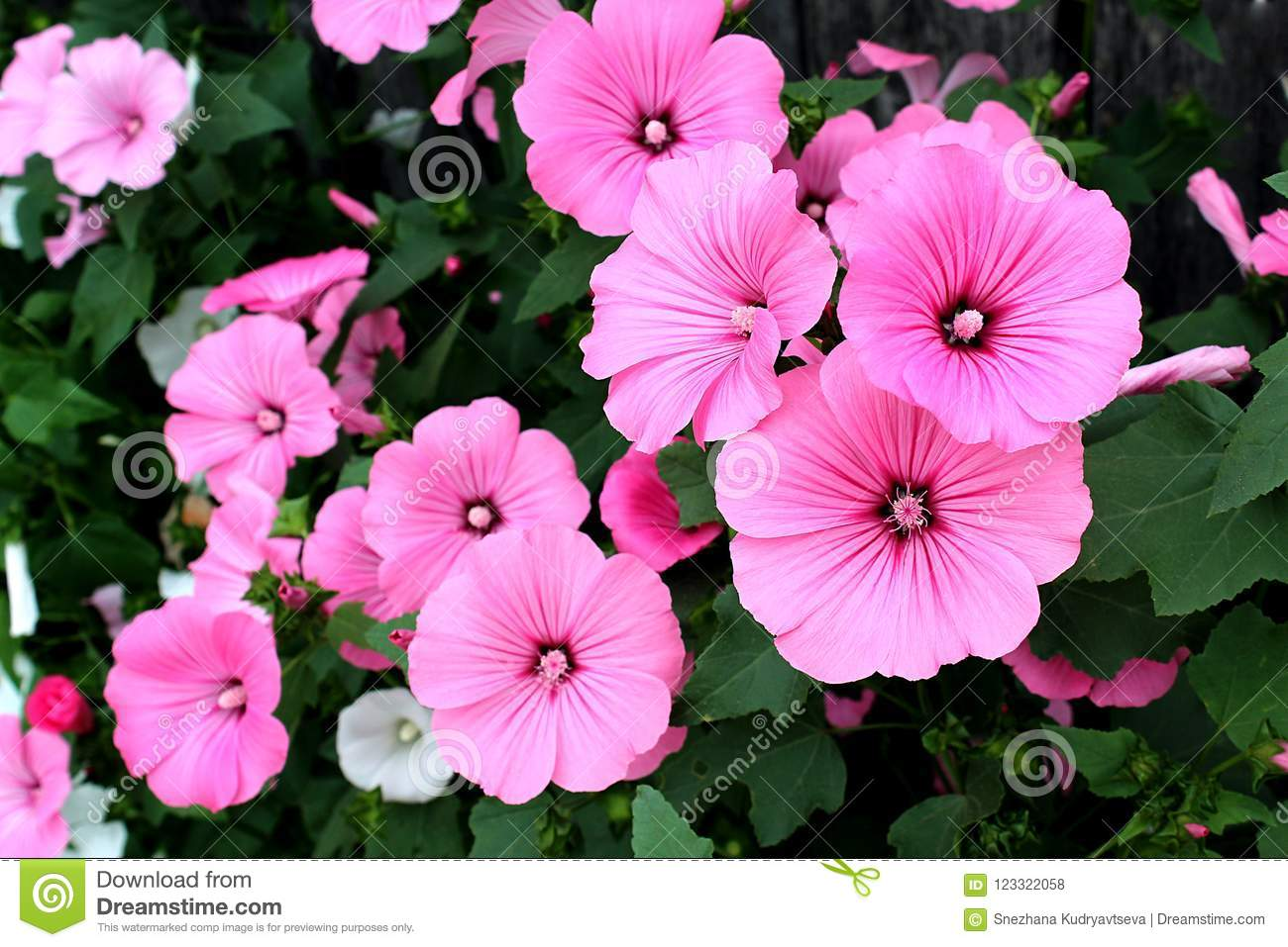 Pink flowers under the name of the lavaera blossomed on the download pink flowers under the name of the lavaera blossomed on the flowerbed stock photo mightylinksfo
