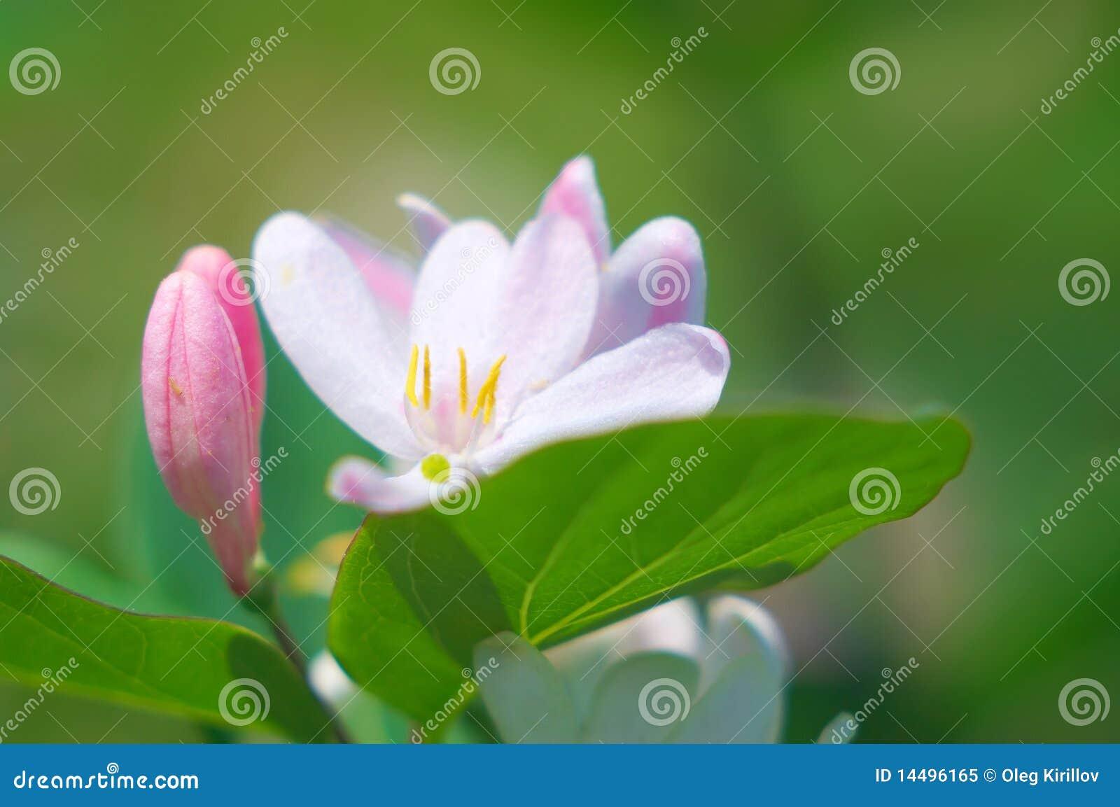 Жасмин розовый фото цветок