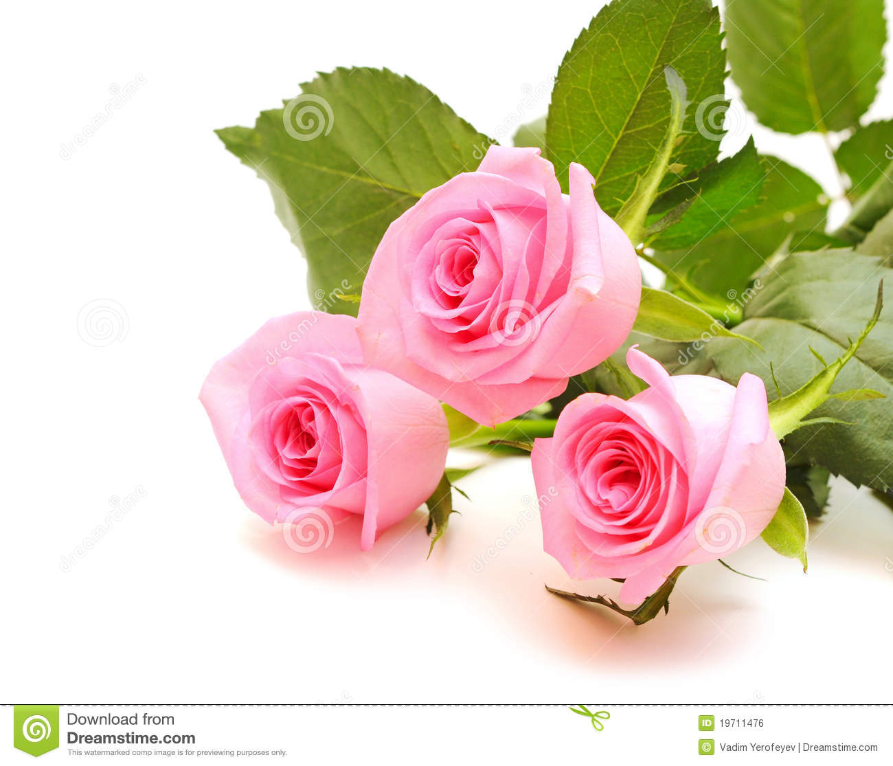 Flower of pink roses stock photo image of focus leaf 19711476 royalty free stock photo mightylinksfo