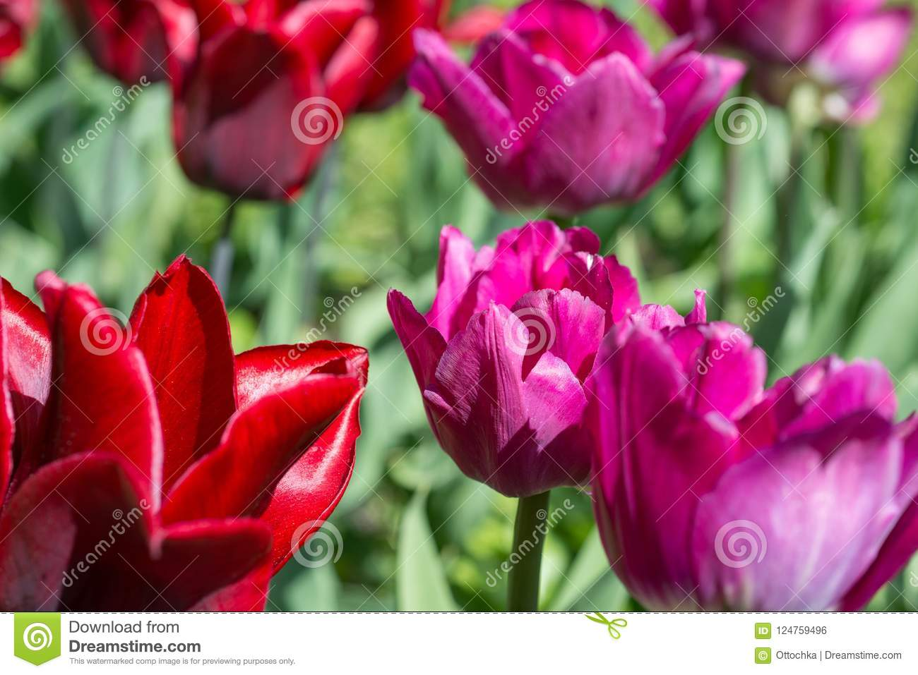 Flower Pink Tulip Stock Photo Image Of Floral Terry 124759496