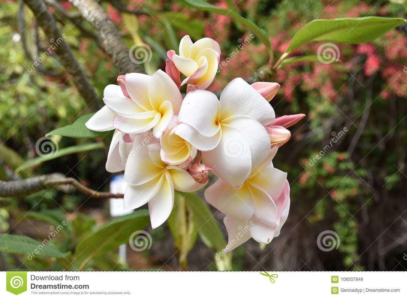 The flower of plumeria stock photo image of aloha blooming 108207848 download comp izmirmasajfo