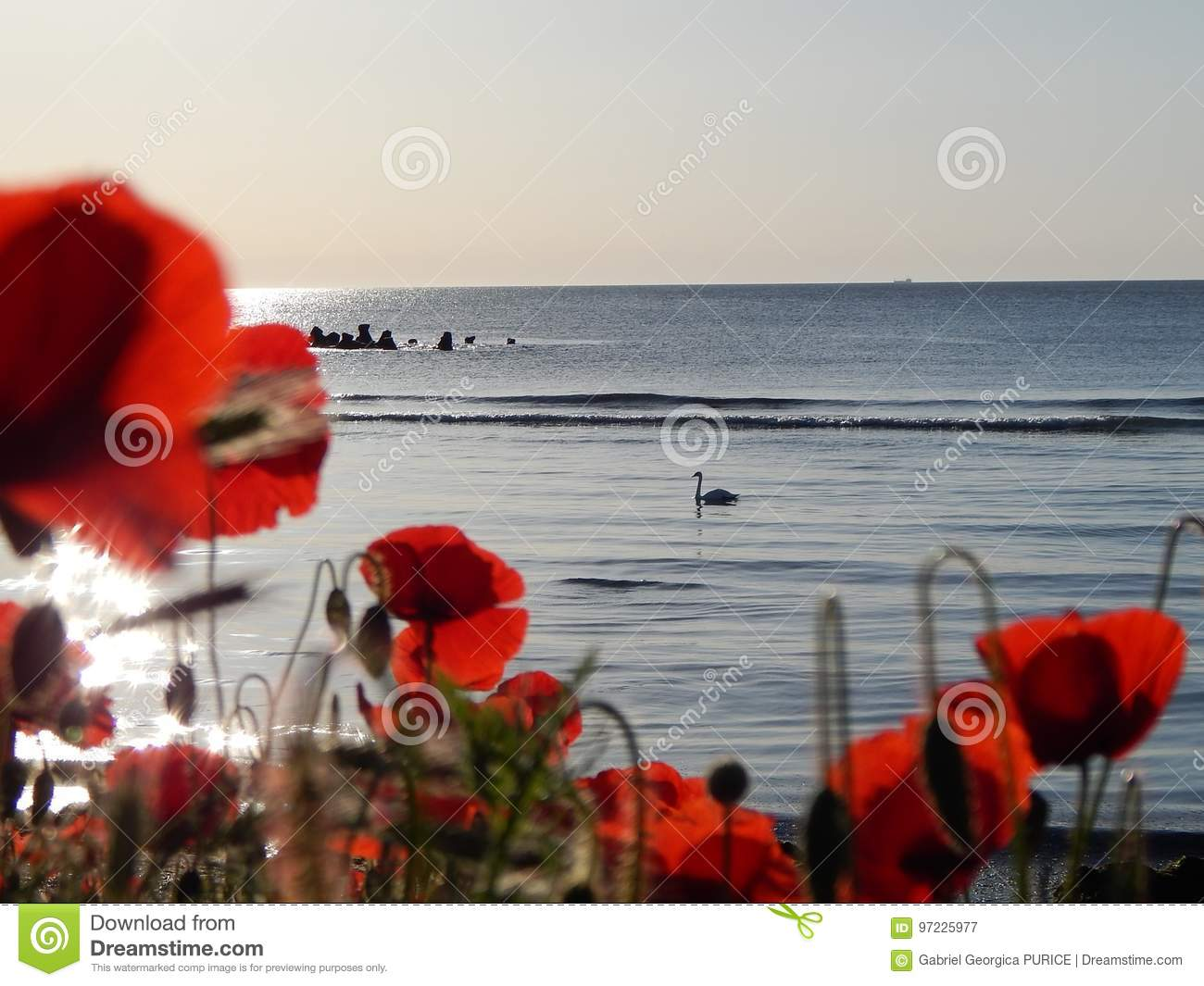 The Flower Poppy On The Beach Stock Image Image Of Flowers Spring