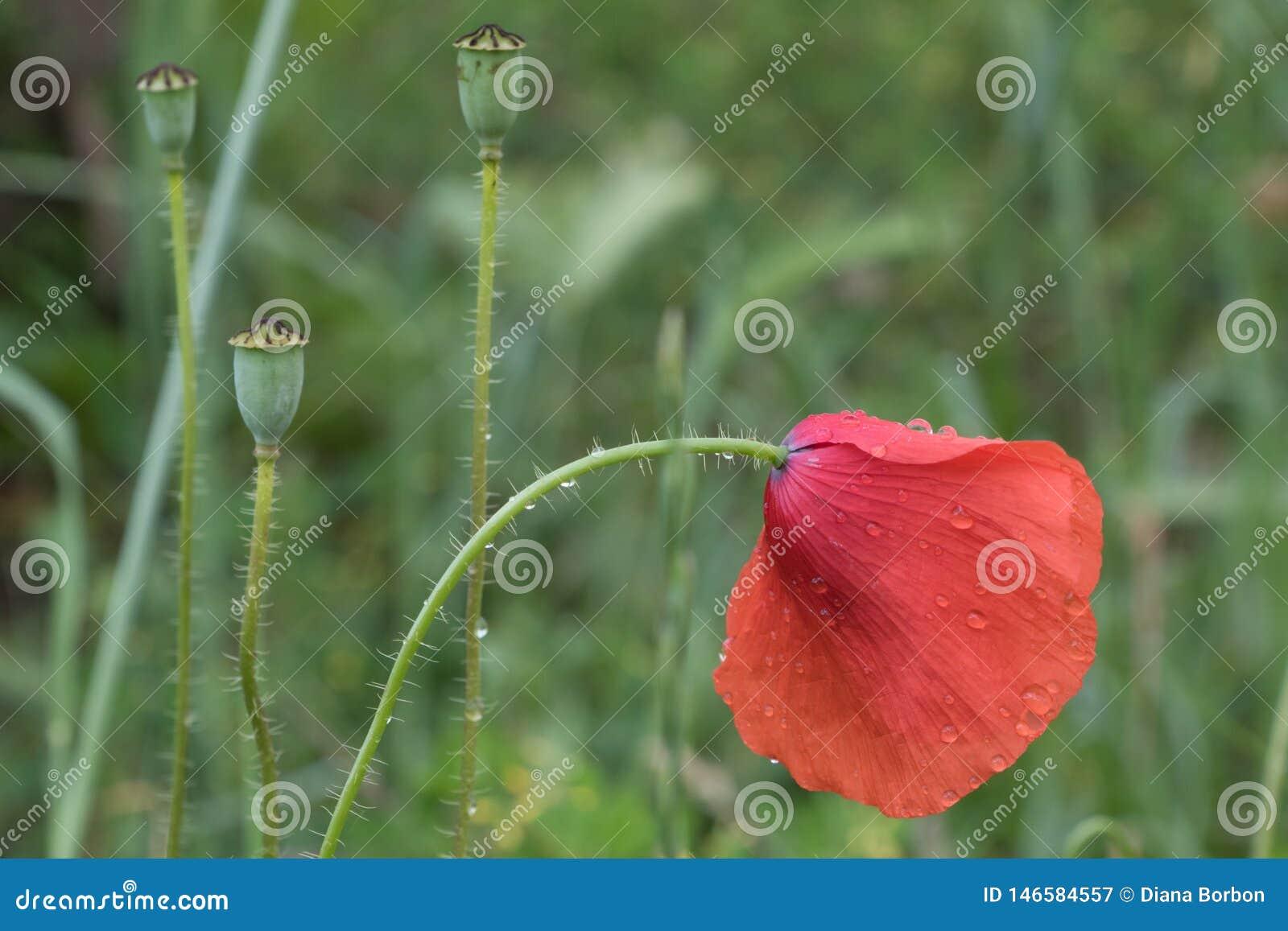 Flower poppy flowering on green background
