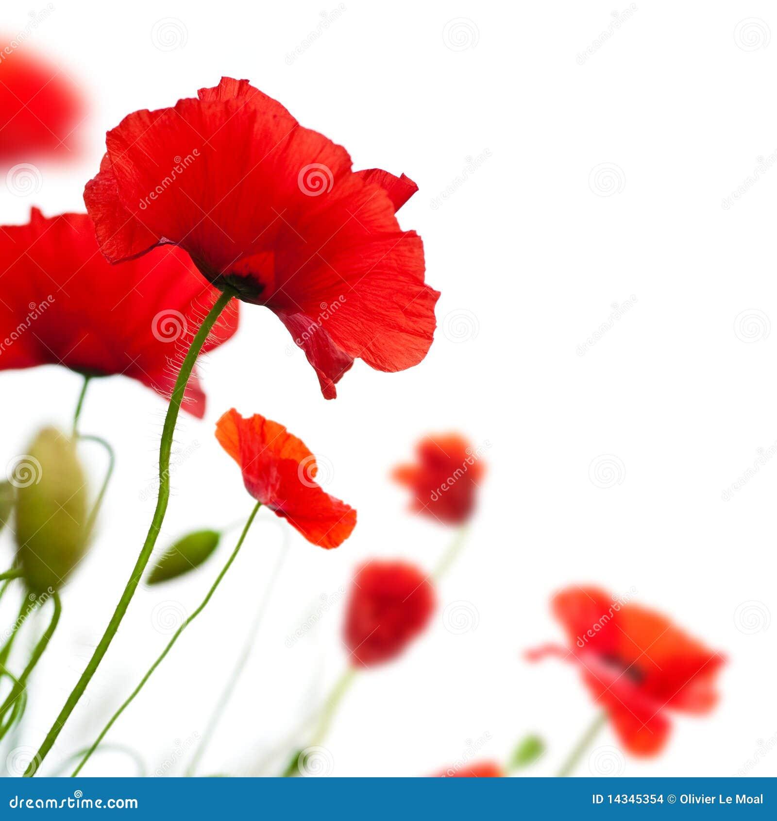 flower, Poppy isolated on white background