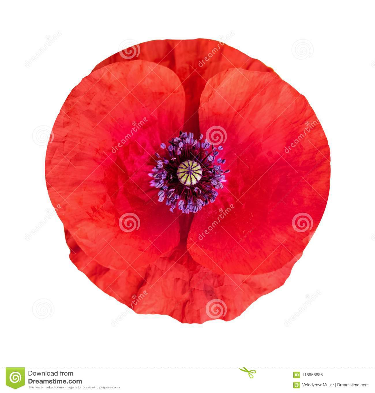 Flower of poppy on white isolated background remembrance day stock flower of poppy on white isolated background remembrance day mightylinksfo