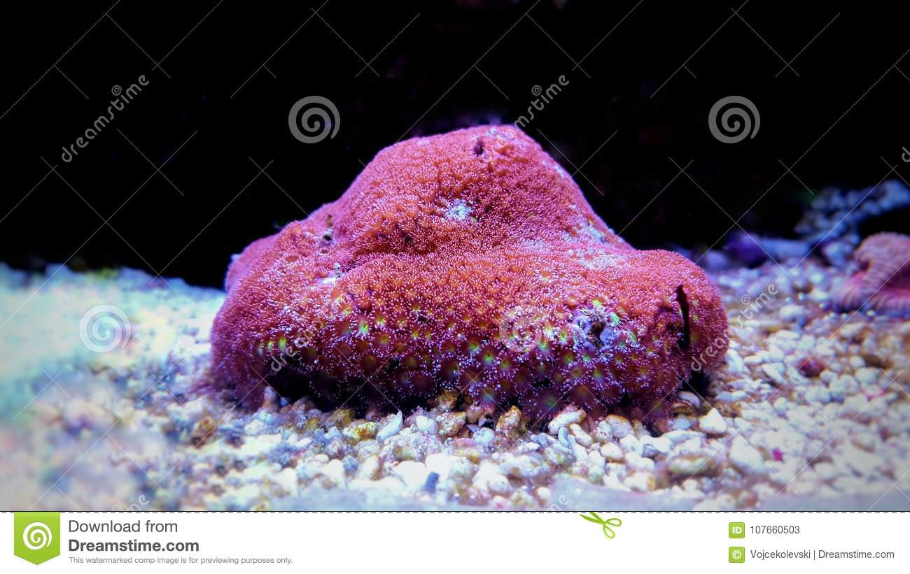 Flower pot coral lps goniopora sp stock image image of frogspawn download flower pot coral lps goniopora sp stock image image of frogspawn euphyllia mightylinksfo