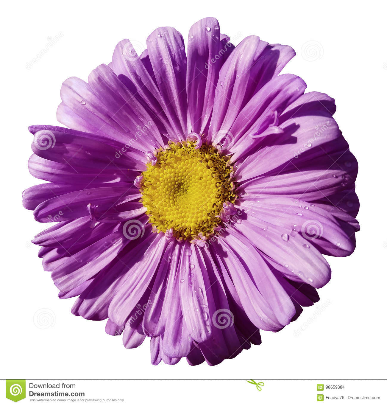 Flower purple Chamomile on white isolated background with clipping path. Daisy violet-yellow with droplets of water for design. C
