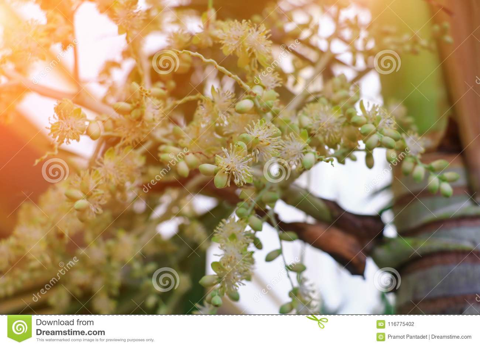 Flower Raja Lipstick Palm Sealing wax , Lipstick , Raja , Maharajah ornamental plant in garden with light sunrise tone. select
