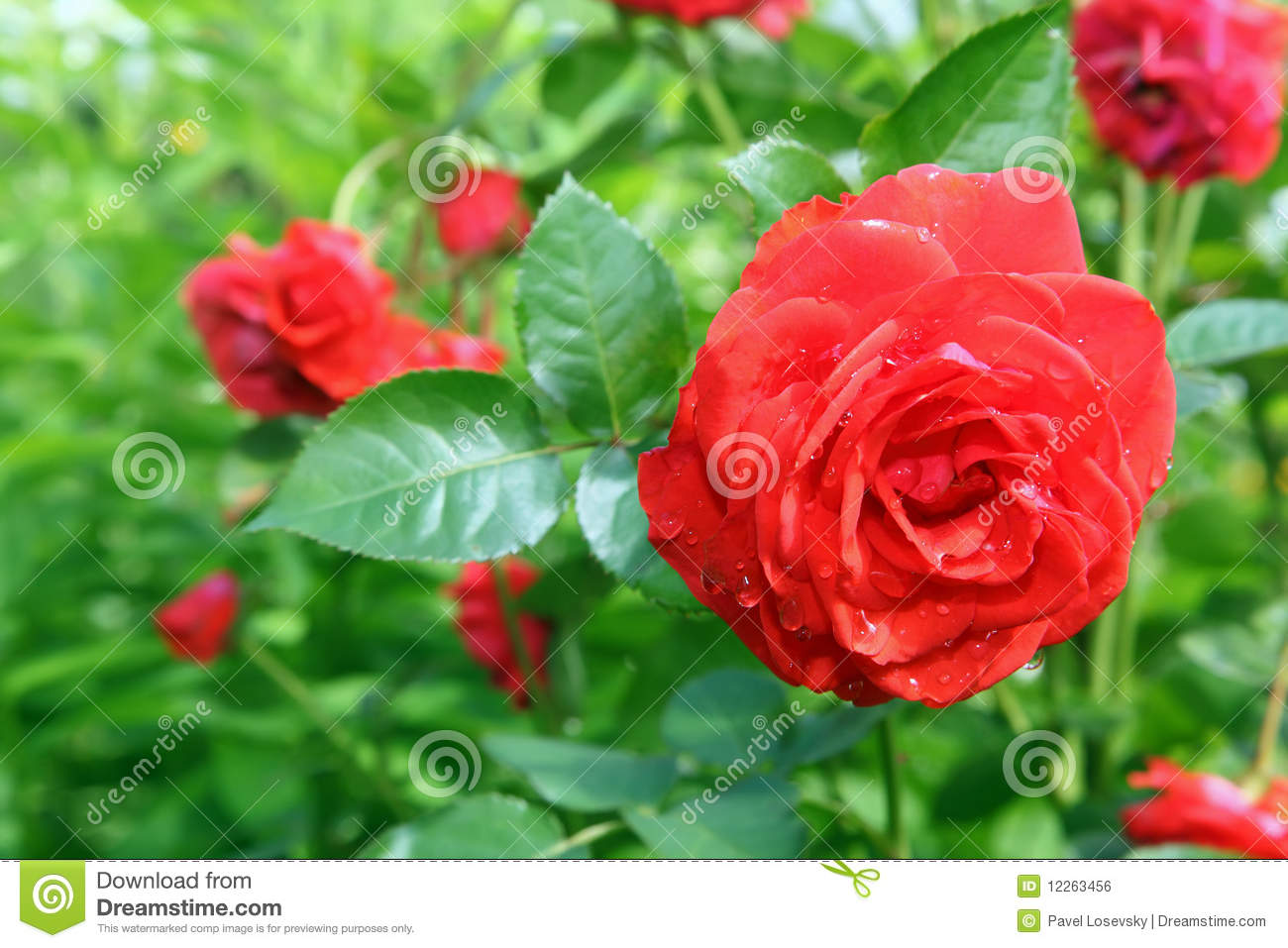 Roses In Garden: Flower Rose In Garden Royalty Free Stock Image