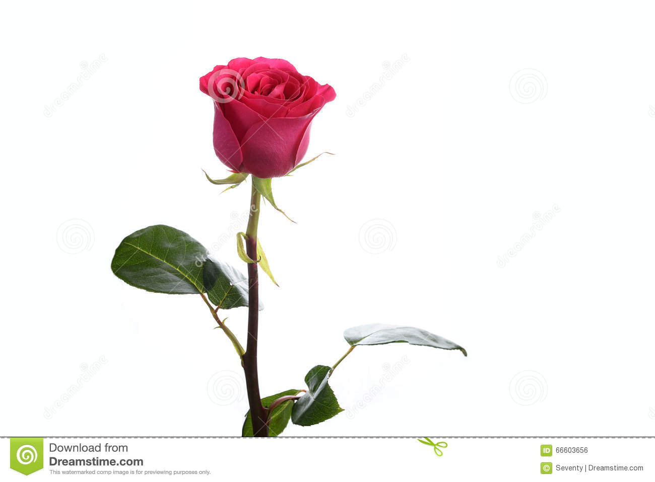 Flower a rose pink floyd stock photo image of plants 66603656 flower a rose pink floyd mightylinksfo