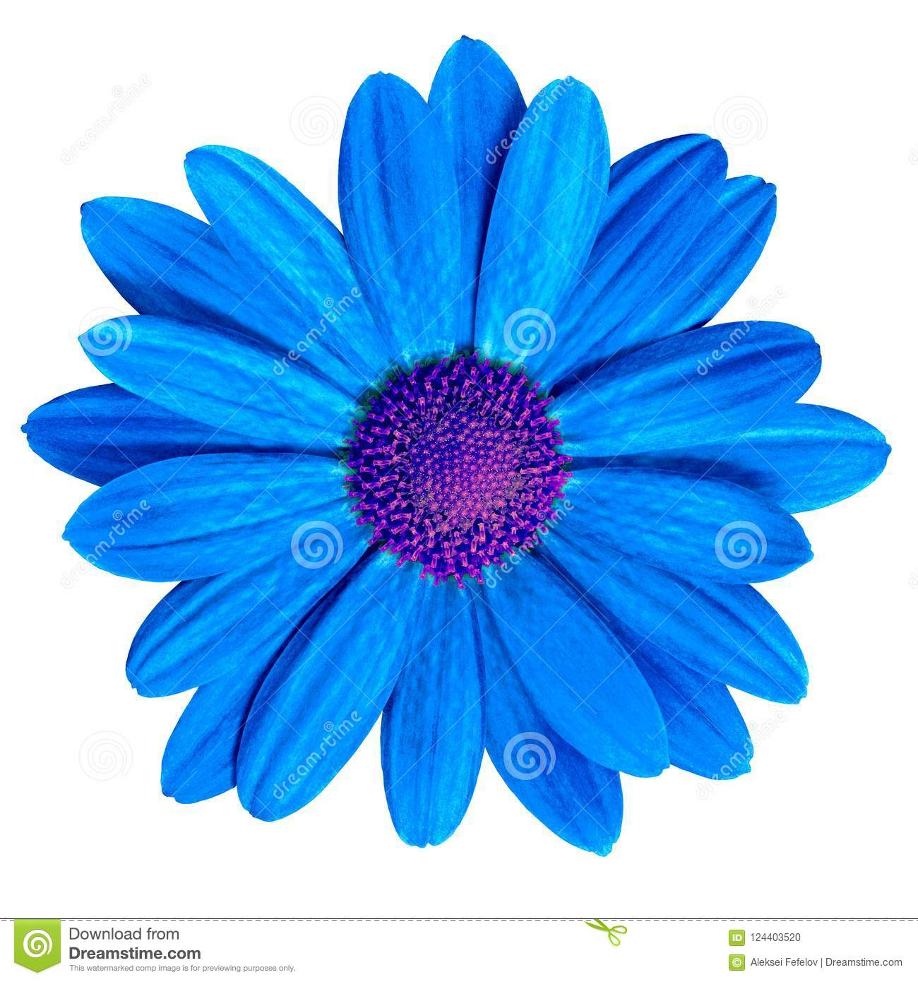 Flower royal blue purple daisy isolated on white background. Close-up.