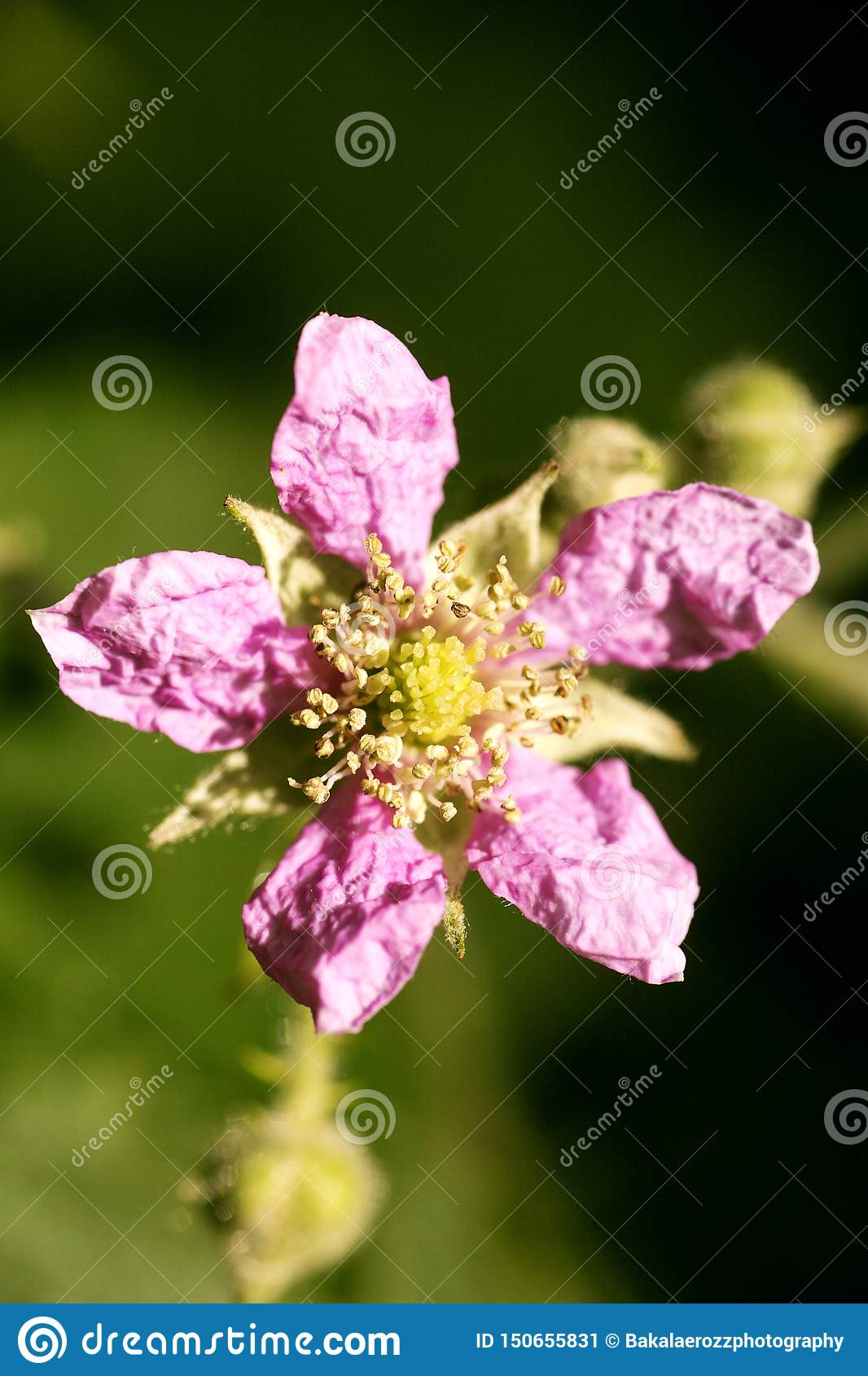 Flower Rubus occidentalis Rosaceae family macro background fine art in high quality prints products fifty megapixels