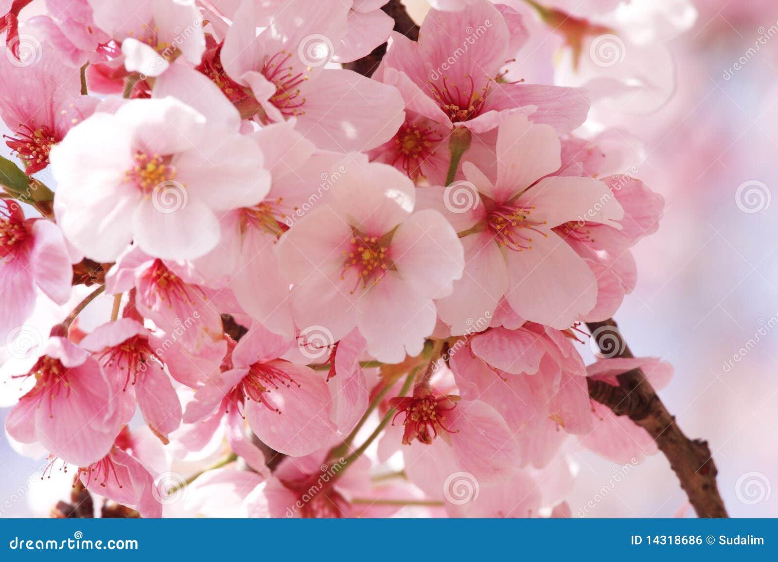Flower Sakura Royalty Free Stock Image  Image: 14318686