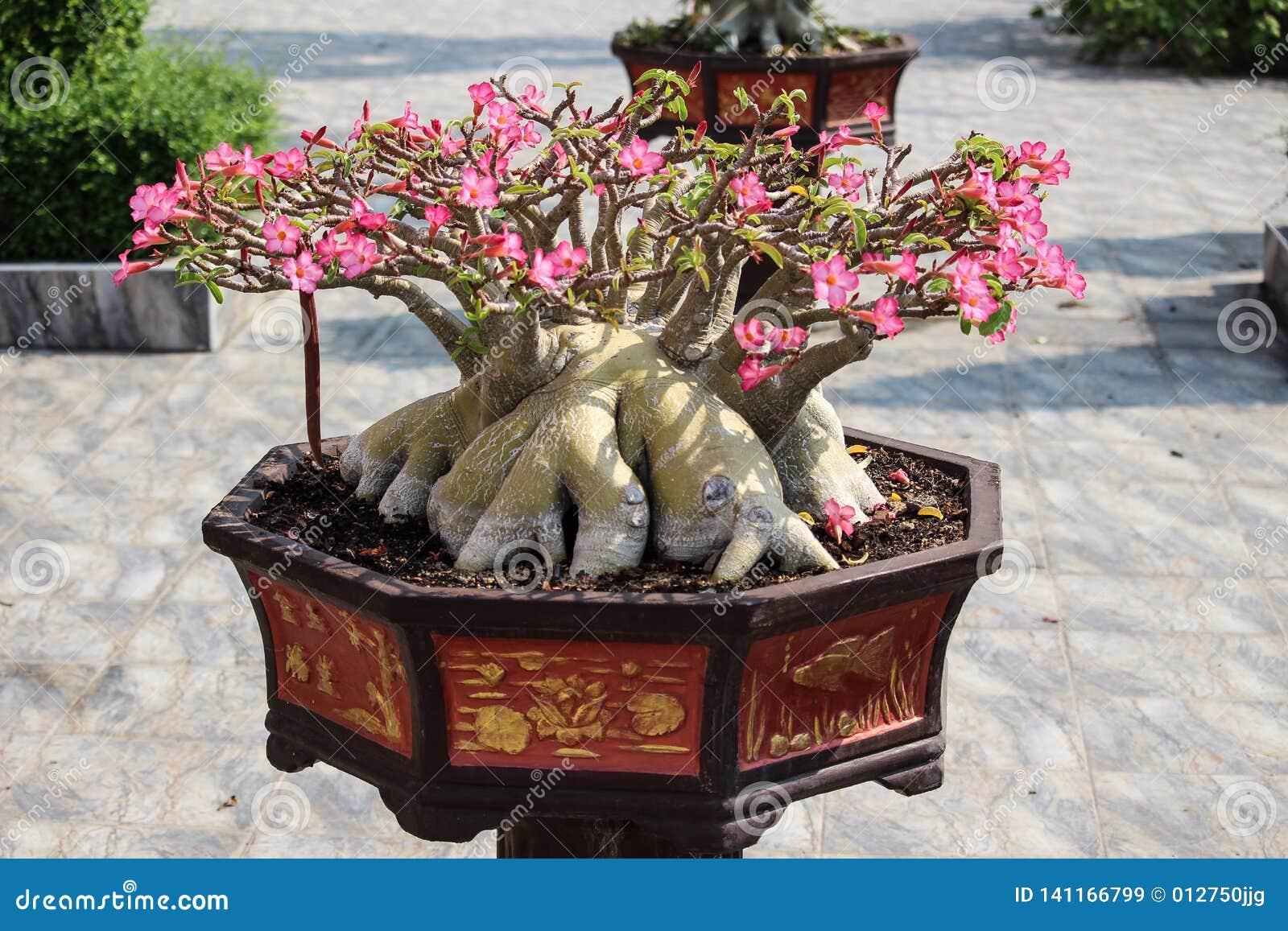 Old Large Desert Rose Bonsai Tree In Pot Stock Image Image Of Desert Rose 141166799