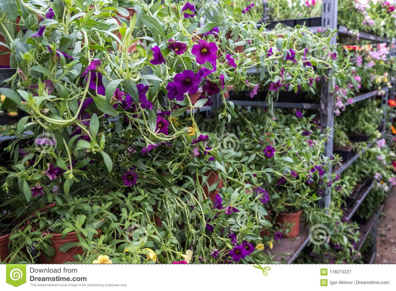 Dreamstime.com & Flower Shop With Plants In Pots With Soil Stock Image - Image of ...