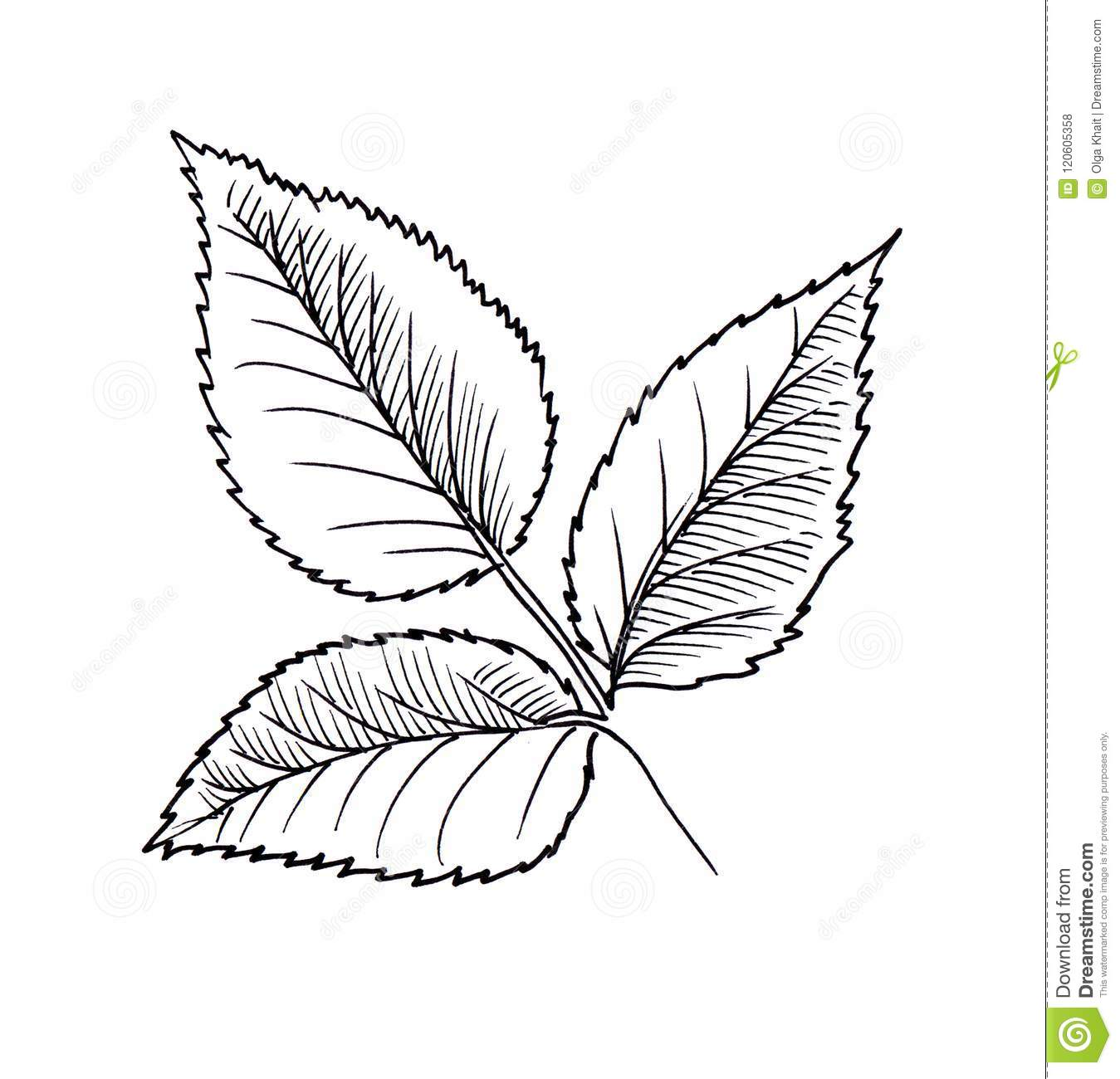 This is a graphic of Satisfactory Rose Leaf Drawing