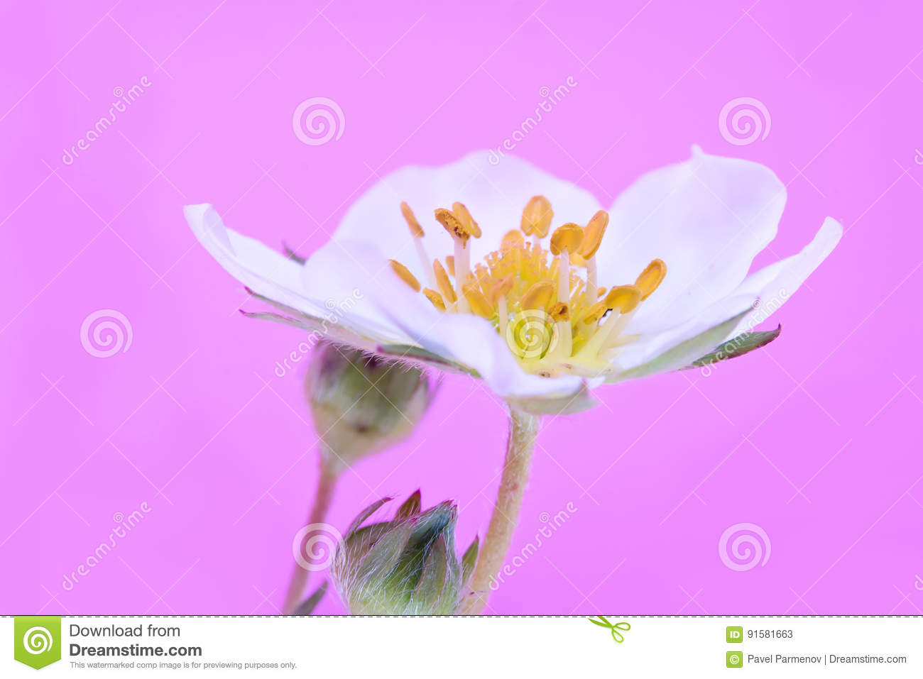 Flower Of A Strawberry Plant Stock Image Image Of Seed Pink 91581663