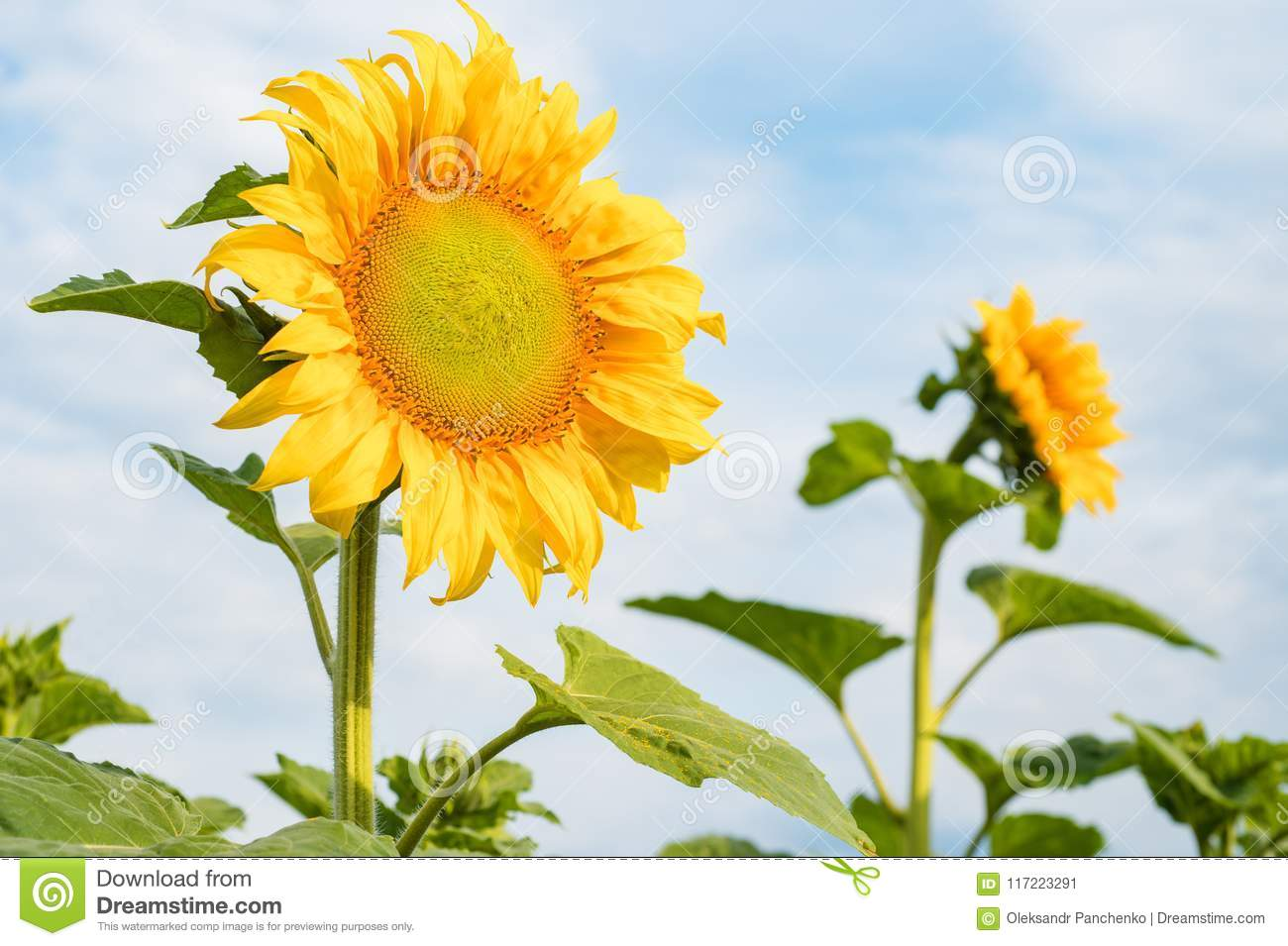 A flower of a sunflower blossoms on a field of sunflowers on a s