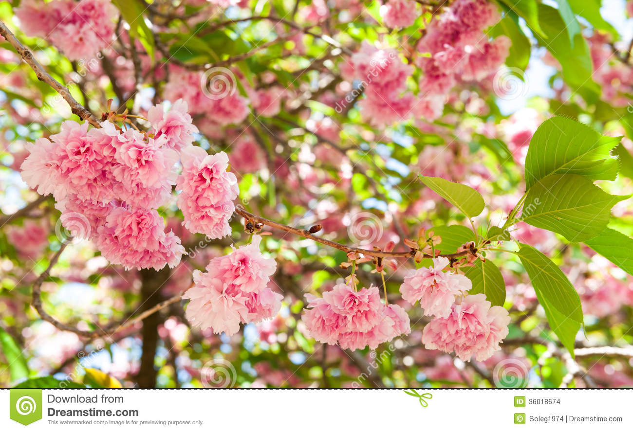 Nature background with blossoming sakura branch royalty free stock - Flower On Tree Cherry Blossom In Spring Stock Images